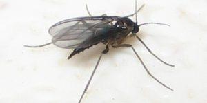Gnat female bites